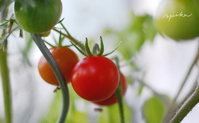 Tomatenliebe 2016